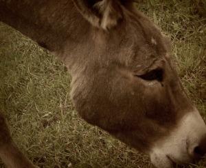 donkey_in_field_wallpaper